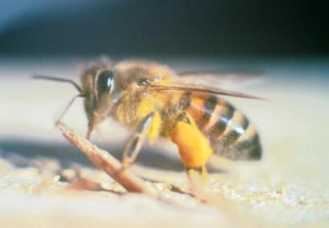long beach bee removal